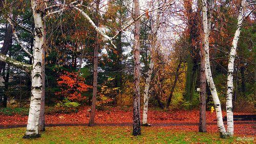 Autumn trees, por blmiers2
