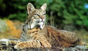 ¿Son los gatos exóticos una amenaza para la seguridad pública?  Por qué las mascotas exóticas no son peligrosas