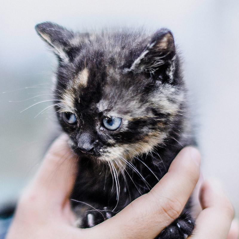 Síntomas de UTI en gatos
