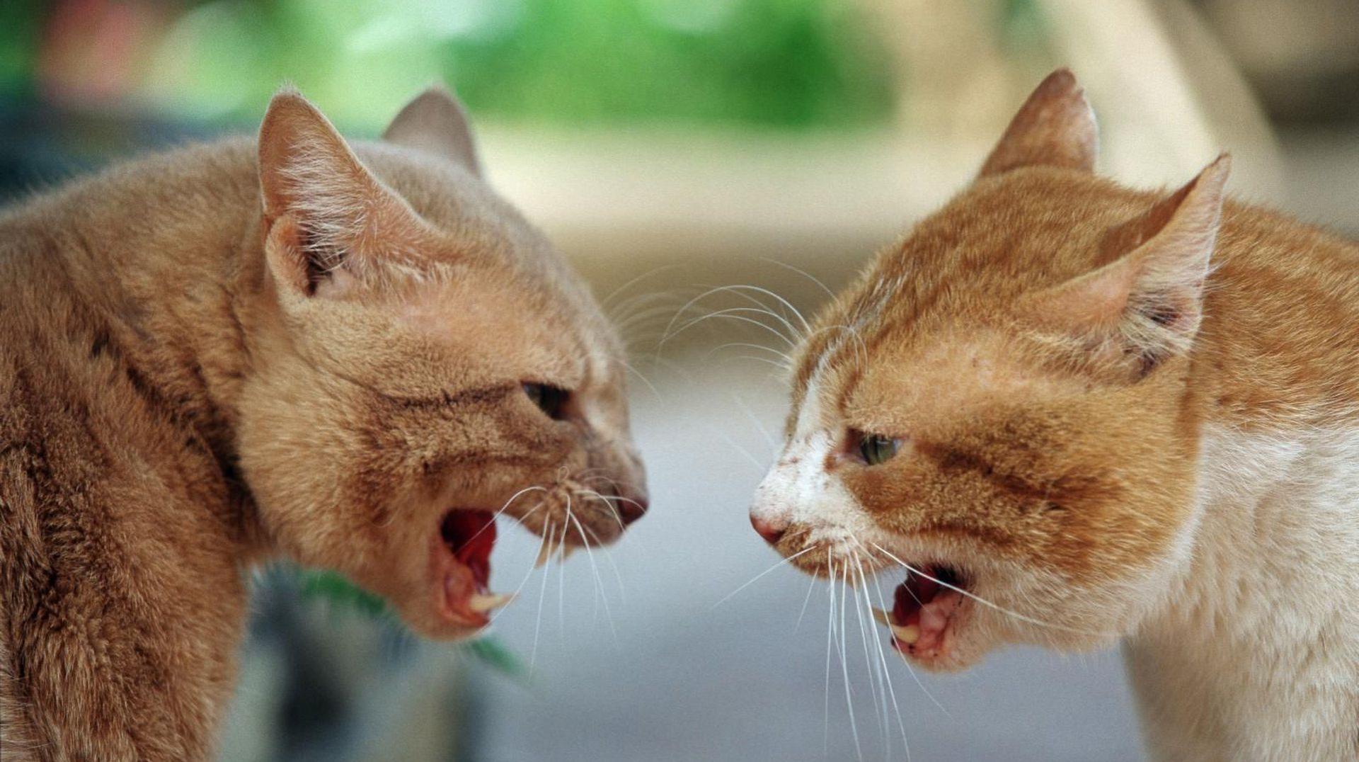 Consejos para presentar dos gatos