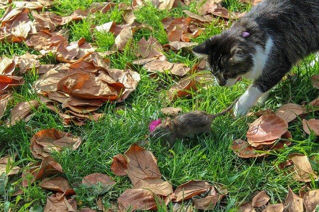 Razones por las que algunos gatos comen ratones