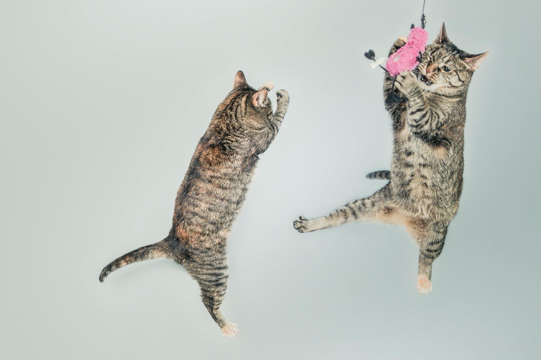 Todo lo que necesitas saber sobre los Gatos Zoomies