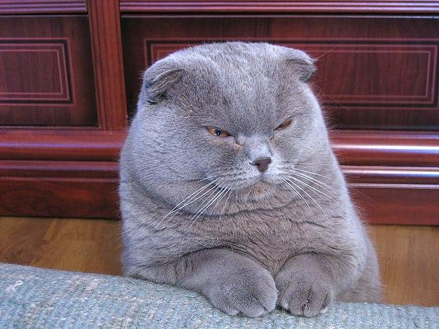 Datos sobre los gatos obesos o con exceso de peso