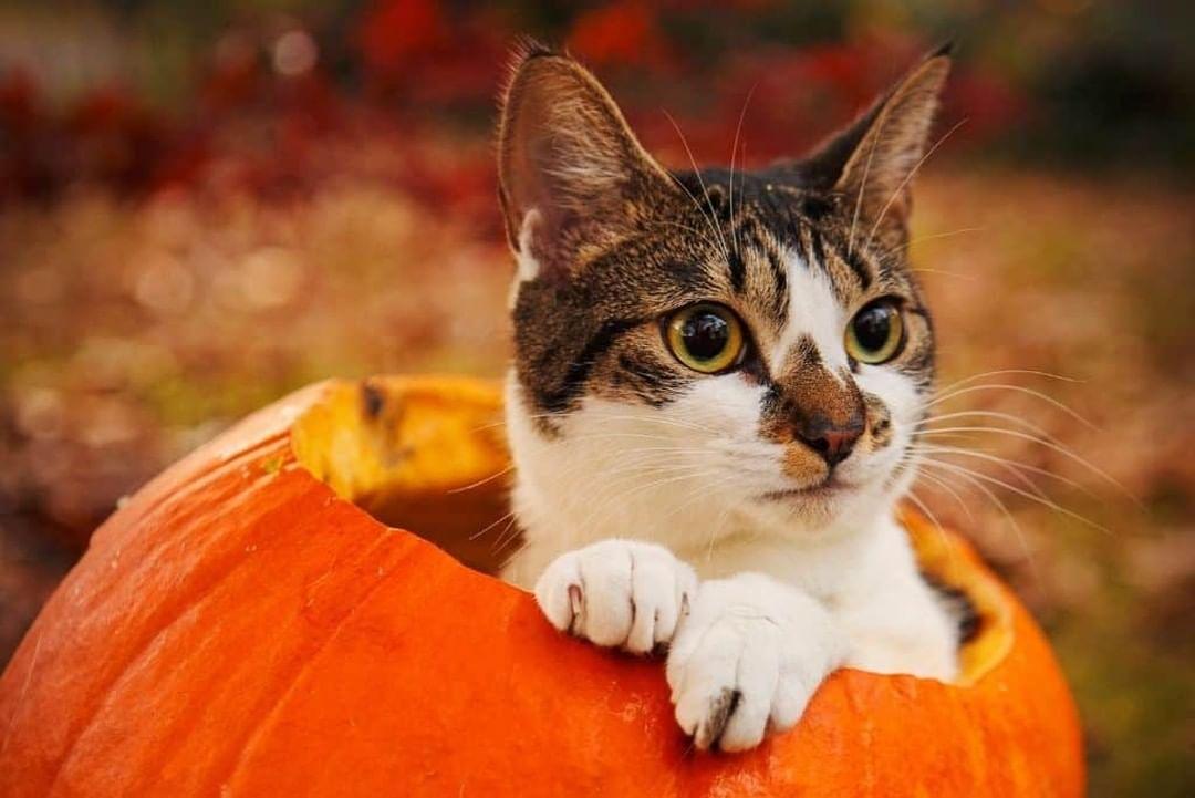 ¿Pueden los gatos comer calabaza?