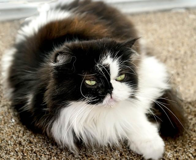 10 datos curiosos sobre las razas de gatos de pelo largo