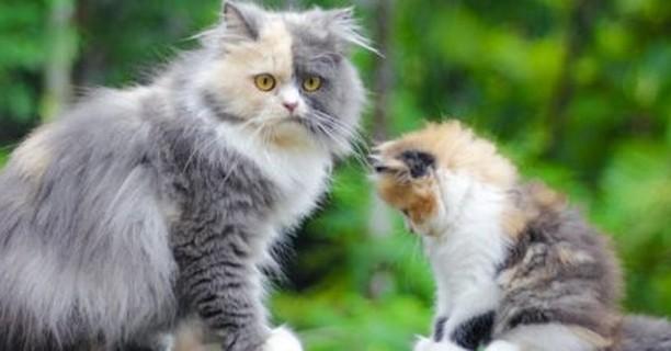 ¿Cuándo dejan de crecer los gatos?