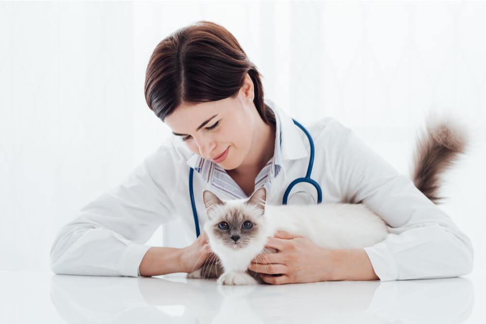 Signos y tratamiento de la enfermedad hepática en gatos
