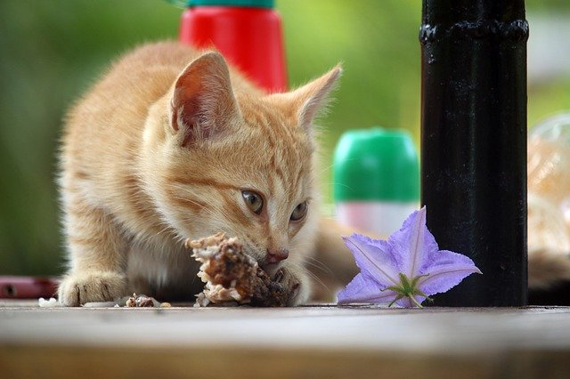 Nutrición felina: ¿Deberías alimentar a tu gato con comida seca o húmeda?