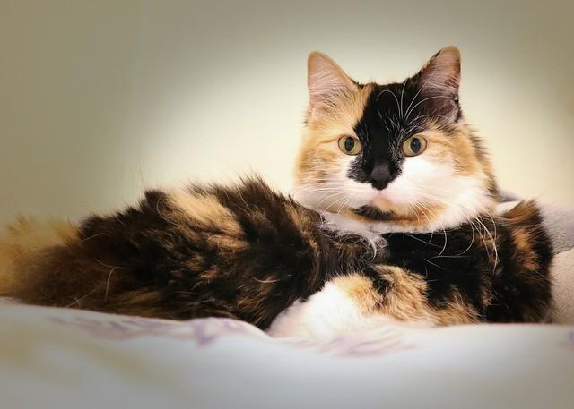 Cuidado del gato Manx y alimentación de esta inusual mascota
