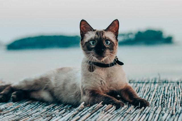 Gatos siameses: ¿realmente quieres uno?