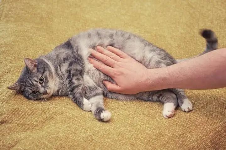 Cáncer de estómago en gatos: causas, síntomas y tratamiento