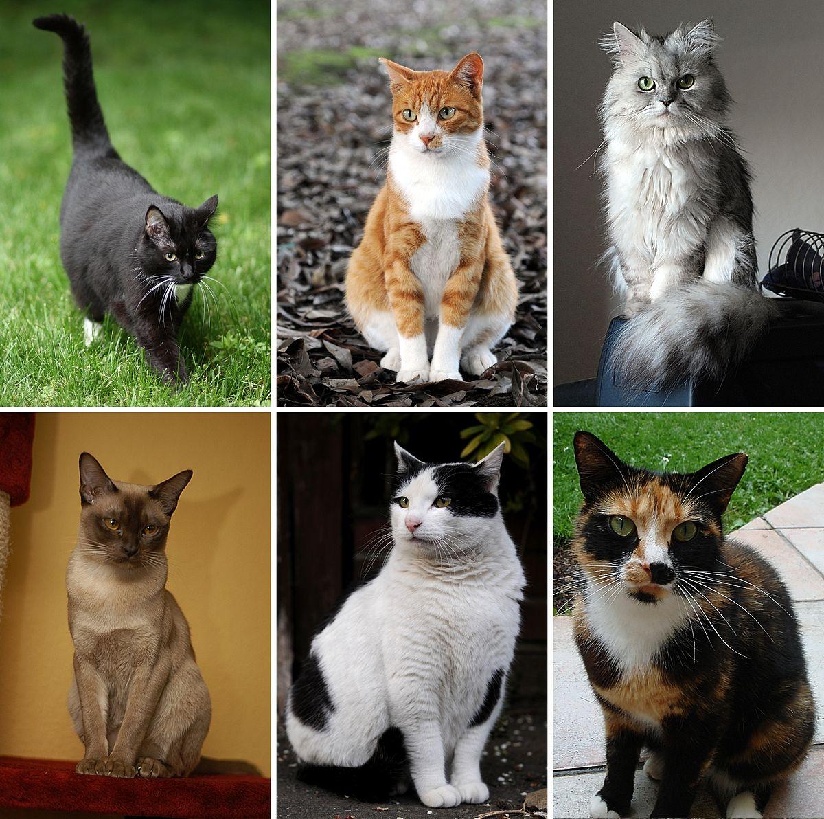 Historia felina y clasificación de gatos domésticos