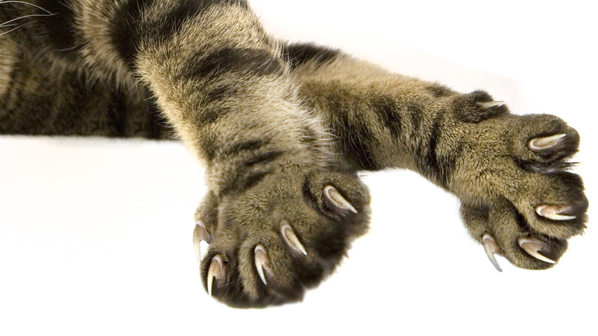 Ocho datos interesantes sobre las patas y garras de un gato