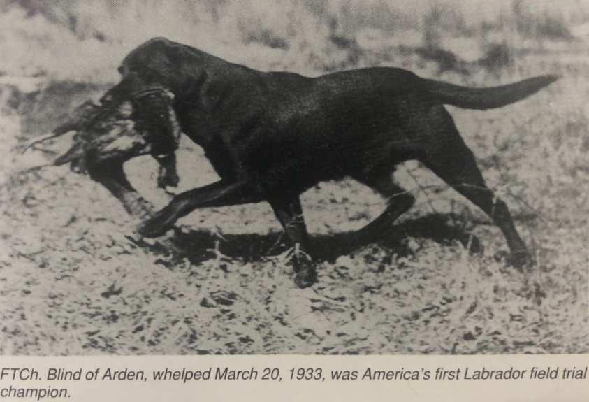 labrador retriever male field champion trotting through marsh holding pheasant