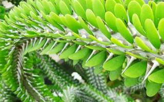 didiereaceae familia