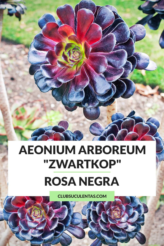 aeonium arboreum zwartkop suculenta