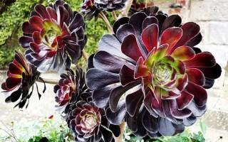 aeonium arboreum zwartkop rosa negra