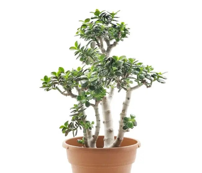 crassula arborescens bonsai