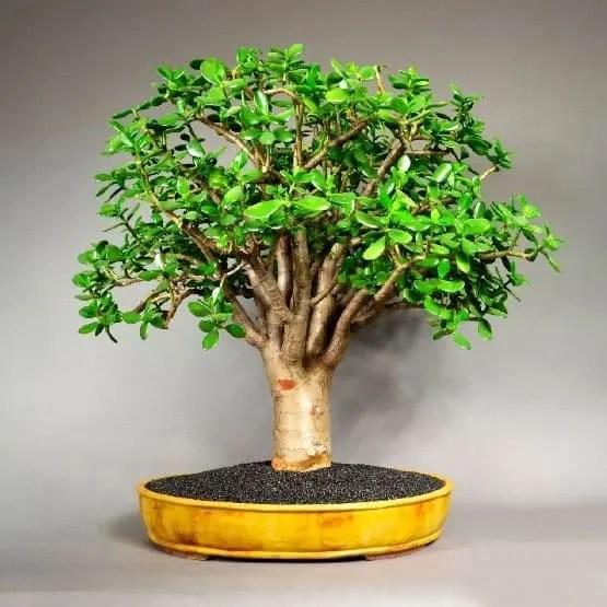 crassula ovata arbol jade bonsai