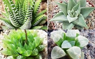 haworthia género plantas suculentas
