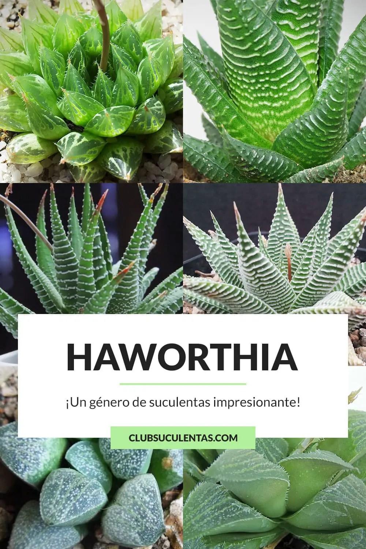 haworthia suculentas