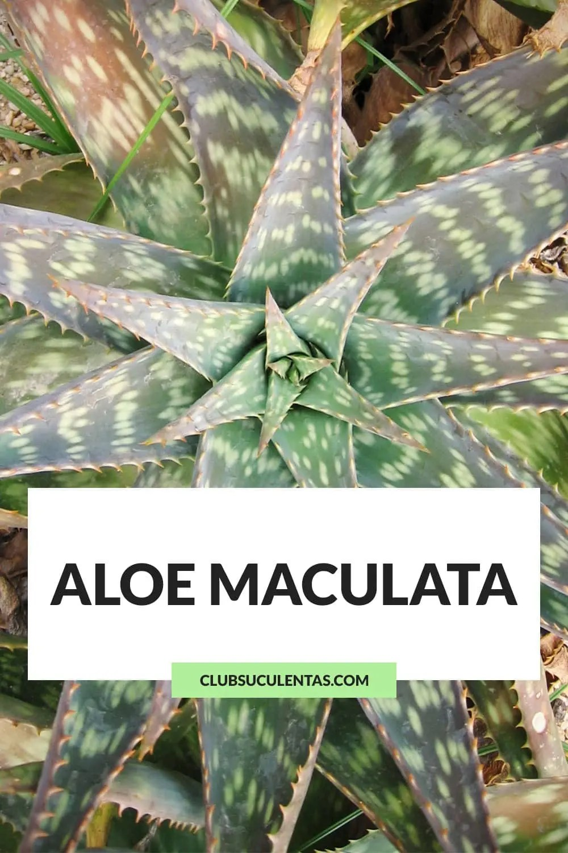 aloe maculata suculentas