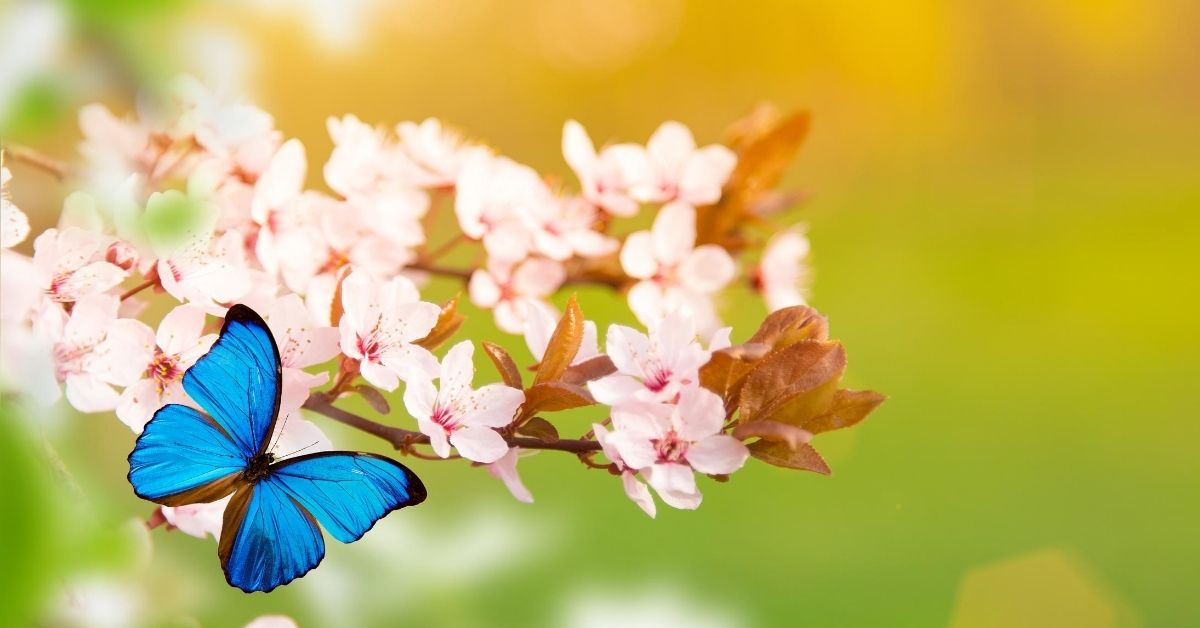 Let's Talk About Spring - picture of blue butterfly on flowering tree branch
