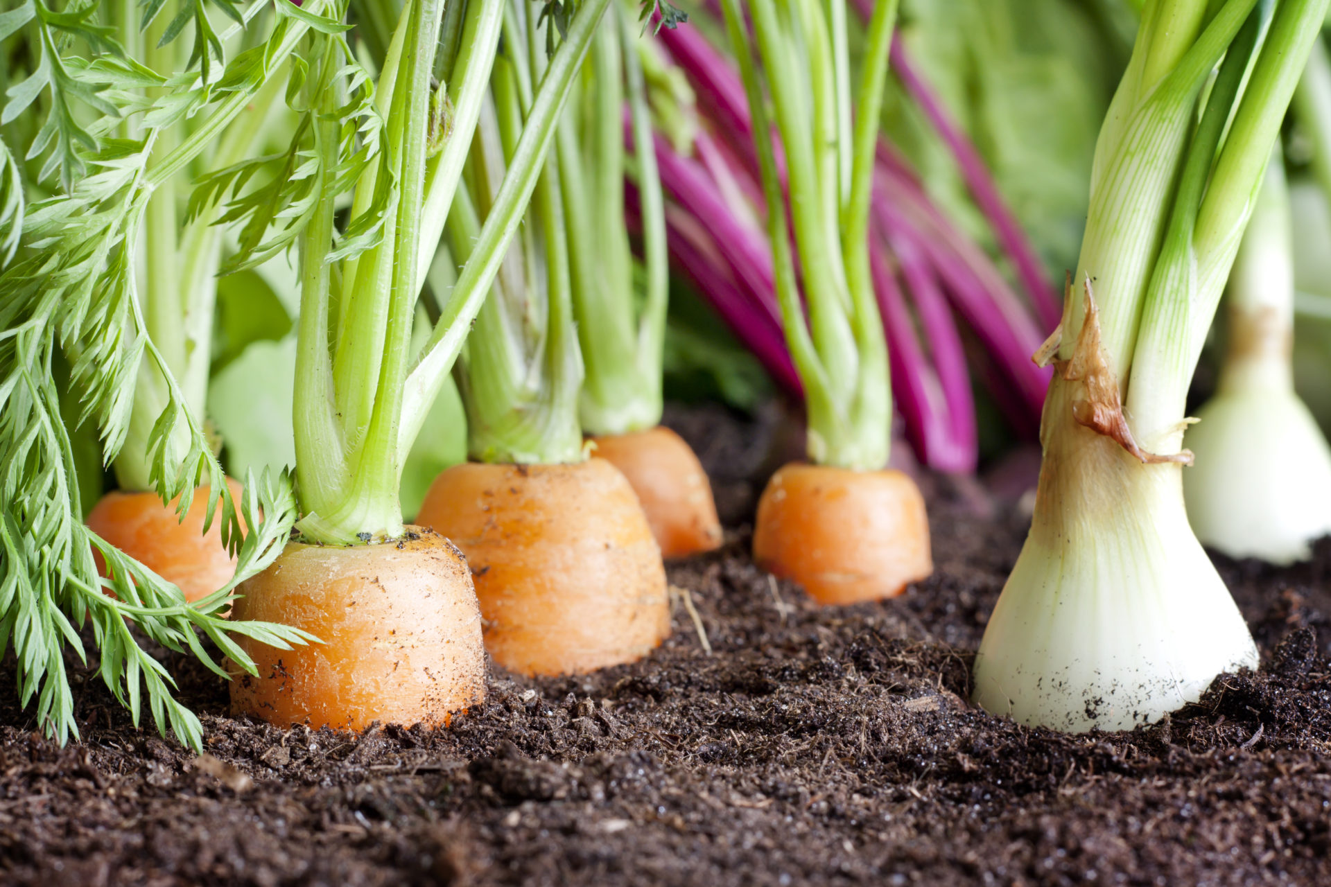 I Heart Veg - picture of carrots and onions growing out of dirt