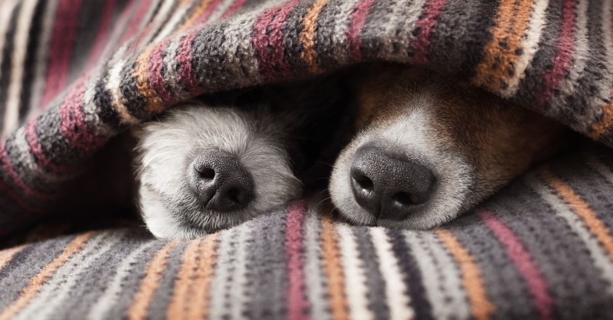 Would You Cuddle a Stranger for $60 Hour - picture of two dog noses sticking out of blanket