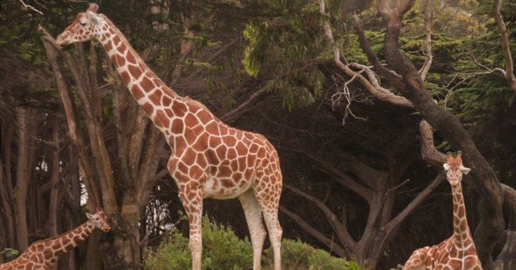 San Francisco CityPASS Review - picture of giraffes at San Francisco Zoo