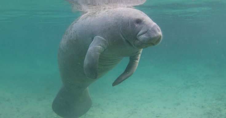 Tampa Bay CityPASS Review - picture of Florida manatee