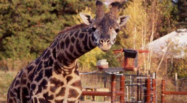 Giraffe at Franklin Park Zoo