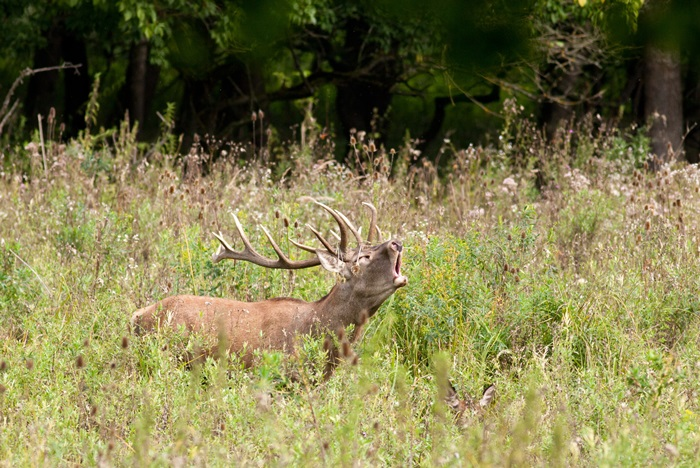 Roaring deer in high grass
