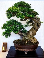 Fascinating Bonsai Tree Design Ideas For Your Room16