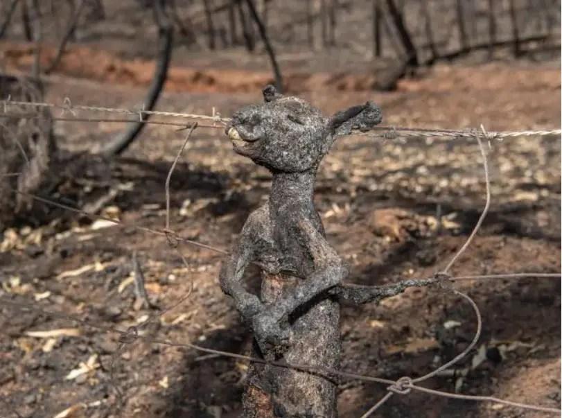 Aproximativ 500 de milioane de animale au murit în incendiile din Australia