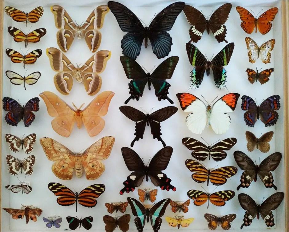 Colecție nouă de fluturi rar la Muzeul Zoologic din Cluj-Napoca