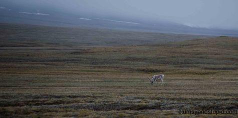 A caribou grazing near Mould bay