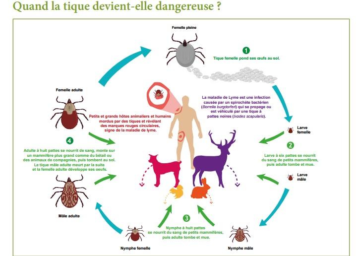 """Résultat de recherche d'images pour """"Maladie de Lyme"""""""