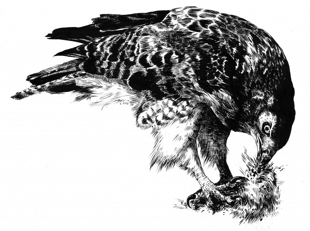 "Red-Tailed Hawk With Prey- brush and ink, 18"" X 24"", 2014"