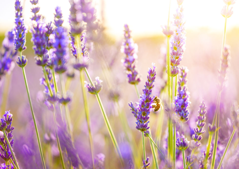 "If you're feeling a little jittery lavender might help. ""Calming scents are the one that make you feel like you can just sit and rest,"" says LaBonte.  ""Lavender helps temporarily sedate the nervous system, so look for it in items you can put in the tub, on the bed, or in lotions."""