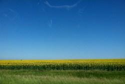 Sunflowers as far as the eye can see—thank you, South Dakota!