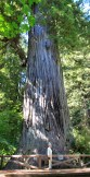 little lady. big tree.