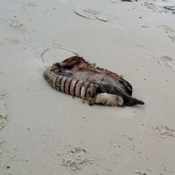 dead armadillo (on the beach? yeah. weird.)