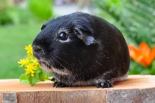 guinea pig animal clinic