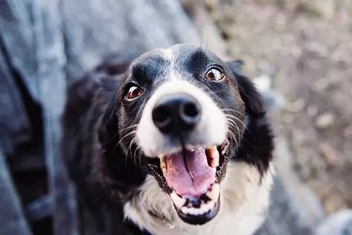 smiling dog teeth healthy