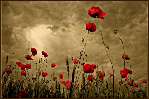 Poppies Around the World