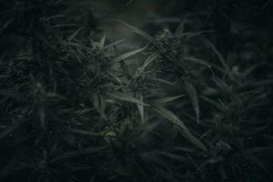 Marijuana and Risk of Testicular Cancer