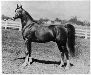 Aaraf, 1943 chestnut stallion, (*Raffles x Aarah). Sired 125 purebreds.