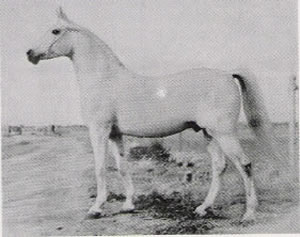 Aarief, 1946 grey stallion, full brother to Aaraf above.