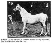 BUKRA (Ahmar x Bozra), a personal favorite of Lady Wentworth, and dam of *BERK and *BATTLA.